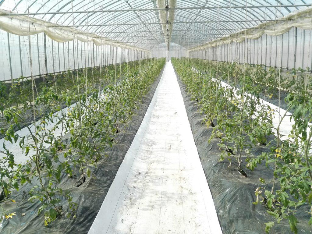 近藤菜園のごほうびトマト
